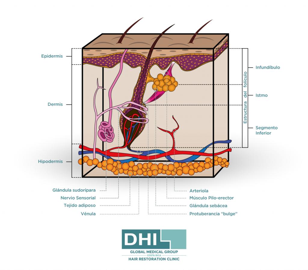 La anatomía del cabello